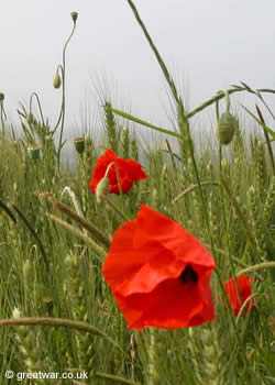 Flanders corn poppies near Thiepval.