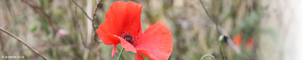 Poppy growing on the Somme battlefield near Thiepval Memorial to the Missing.