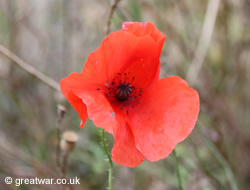 Flanders Poppy on the Somme battlefield
