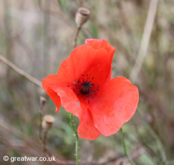 Poppy on the old Somme battlefield